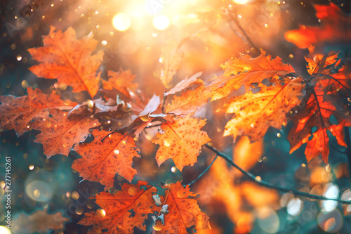Autumn Colorful Bright Leaves Swinging On An Oak Tree In