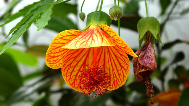Closeup of blooming abutilon hybridum flower, the larger genusabutilongenerally, they have been referred to by the common namesChinese lantern andparlour maple.