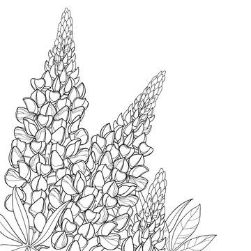 Corner bouquet with outline Lupin or Lupine or Bluebonnet flower bunch, bud and ornate leaf in black isolated on white background.