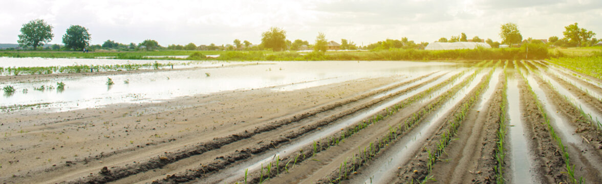 Vegetable rows flooded with water. Flood in the countryside and rising water levels and heavy rainfall. Loss harvesting. Agriculture. Farming. Ukraine, Kherson region. Selective focus