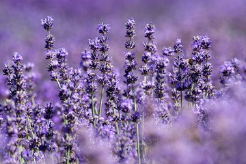 Detail of lavender field in summer time