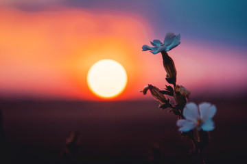 Acrylic Prints Orange Glow Blurry sunset with white flowers