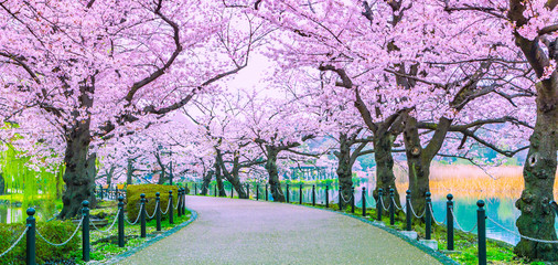 Walking path under the beautiful sakura tree or cherry tree tunnel in Tokyo, Japan