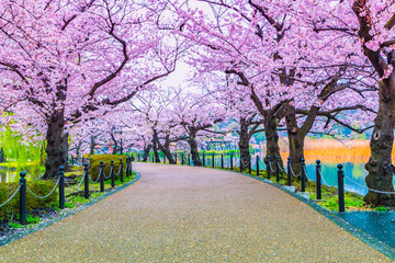 Printed kitchen splashbacks Purple Walking path under the beautiful sakura tree or cherry tree tunnel in Tokyo, Japan