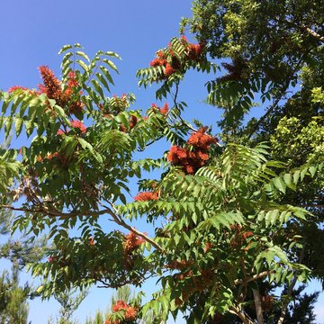 Female plant of ailanthus altissima also called tree of heaven or chouchun in china