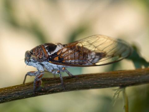 Cicadidae Cicada close-up on a tree branch
