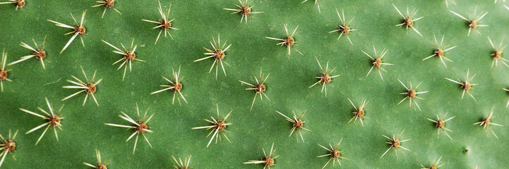Panoramic picture. Closeup of spines on cactus, background cactus with spines