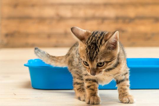 kitten and tray, closeup portrait of bengal kitten