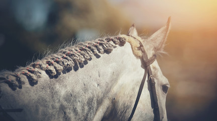 Pigtails on neck sports gray horse. Equestrian sport.