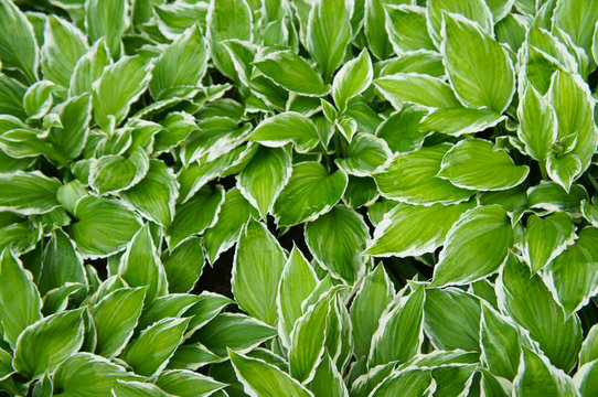 Hosta francee green leaves with a white margin background