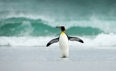 King penguin standing on a sandy coast against big waves