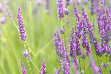 close up of lavender field blooming