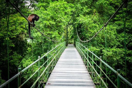 Howler at the hanging bridge at the tropical rainforest at Sarapiqui, Costa Rica. Bridge crossing Sarapiqui river.