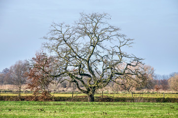 Single baretree, fancifully shaped, in the meadows and fields near Sint Oedenrode, The Netherlands, on a sunny day in winter