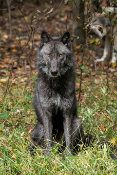 Beautiful Timber Wolf (also known as a Gray Wolf or Grey Wolf) sitting down, with black and silver markings