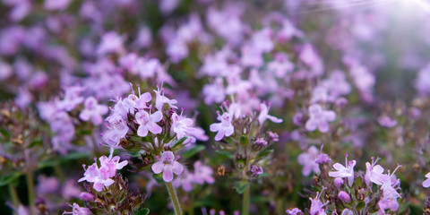 Groundcover blooming purple flowers thyme serpyllum on a bed in the garden, close up, soft selective focus