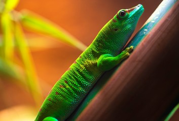 This is a close up, detailed macro image capture of a fascinating looking green giant day gecko.