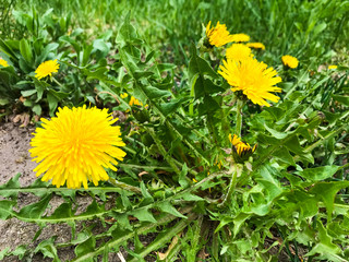 Yellow dandelions with green leaves grow on ground.