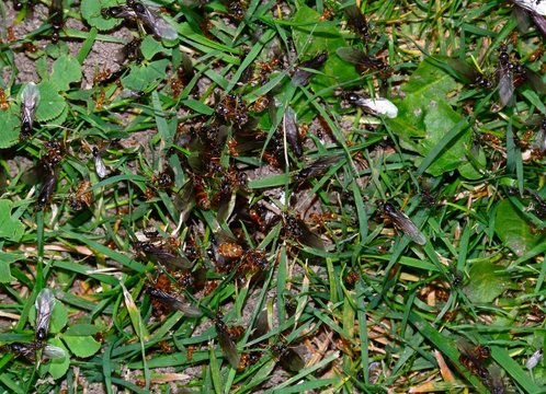 Flying ants swarming in the grass, UK.