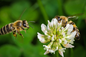 Macroshot of a bee collecting pollen of a clover flower