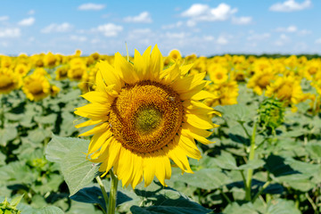 Sunflowers on the blue sky background agriculture farming rural economy agronomy concept
