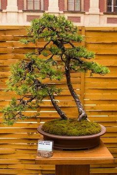 beautiful old bonsai