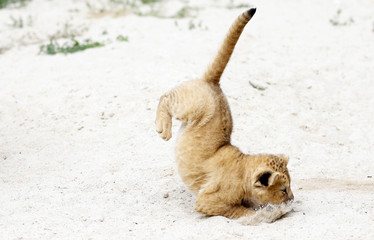 A newly born Barbary lion cub jumps inside its enclosure at Dvur Kralove Zoo in Dvur Kralove nad Labem