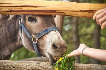 Foto auf AluDibond Esel Esel mit Gras füttern