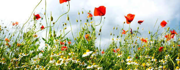 Fotoväggar - Poppies and chamomile in a meadow
