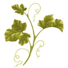 Illustration of vine. Pumpkin branch with leaves.