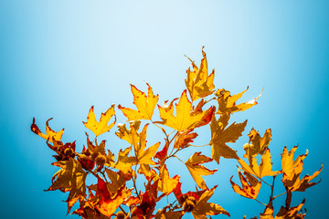 maple branches in autumn forest