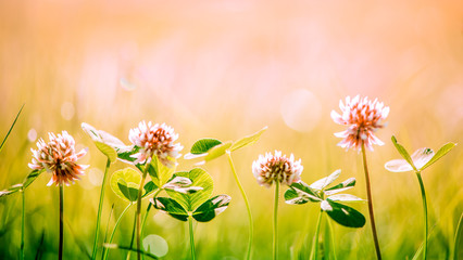 red clover flowers and grass background