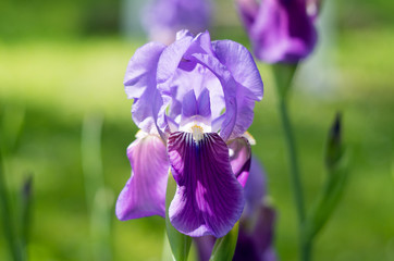 Wall Mural - Violet flower iris in the garden. Flower in the garden. Spring flower iris shot in clear sun on green background of natural grass in iris garden.