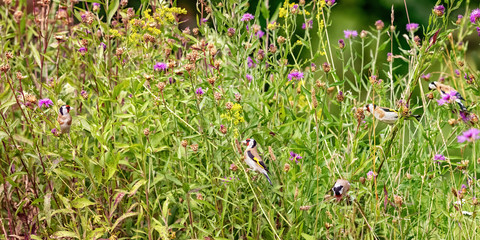 Flock of Goldfinches (m+f) feeding on seeds of Brown Knapweed, xxl+more: bartussek.xmstore