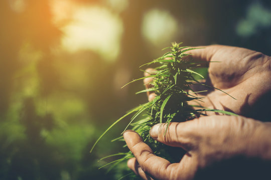 Hand of farmer holding cannabis at farm.