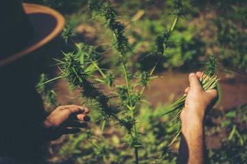 Hand of farmer Checking marijuana be happy.