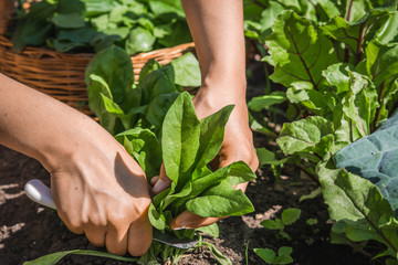 Farmer in the garden harvesting spinach, fresh farm vegetable, harvest in organic farm Wall mural