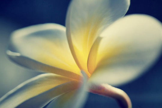 Frangipani Plumeria Blume