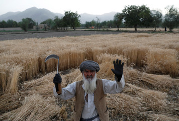 An elderly Afghan farmer poses for a picture as he harvests wheat in Kabul