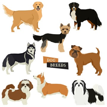 Vector illustration Dog collection Yorkshire terrier, Havanese Dog, Siberian Husky, Golden Retriever, Bernese Mountain Dog, Griffon Bruxellois, Shih Tzu,Pembroke Welsh Corgi Isolated objects