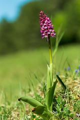 Purpur-Knabenkraut auf Wildblumen Wiese