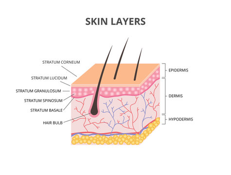 Skin layers: Epidermis, Dermis, Hypodermis isometric vector illustration