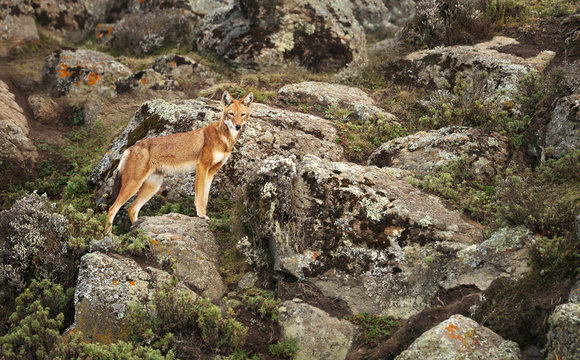 Rare and endangered Ethiopian wolf in its natural environment