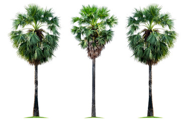 Three tropical sugar palm trees isolated on a white background. File contains with clipping path so easy to work.