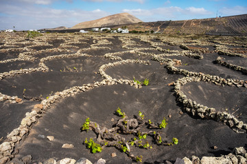 Stunning landscape with volcanic vineyards. Traditional wine production of Lanzarote. Canary Islands. Spain