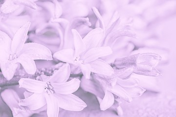 Hyacinths flowers. Spring background, light purple toned photo