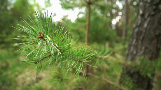 Pine branch with spiderweb close up.