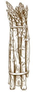 engraving illustration of asparagus