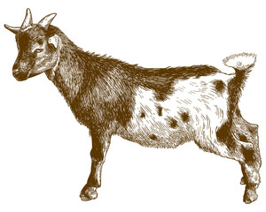 engraving antique illustration of goatling kid