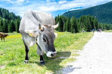 Alpine gray cow. Mountain landscape in summer, Italian Dolomites. Alps, Dolomites, Trentino Alto Adige, Val Venegia.